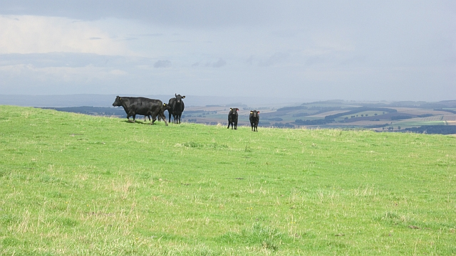 Shibdon Hill's cattle
