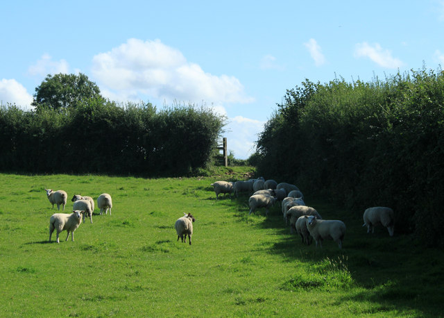 2012 : Sheep on Burledge Hill