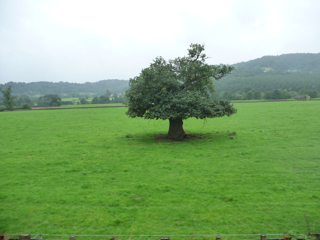 Small tree, big trunk, in the Derwent valley