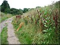 SK3971 : Flowering teasel on the Trans Pennine Trail by Christine Johnstone