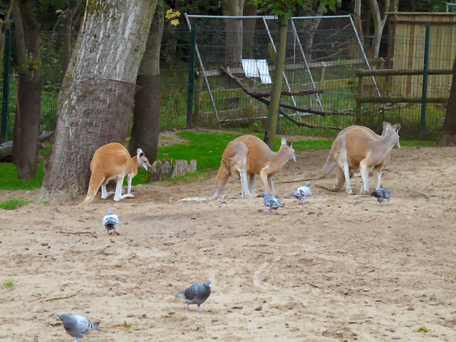 Pigeons and roos