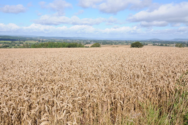 Wheat fields near Much Dewchurch