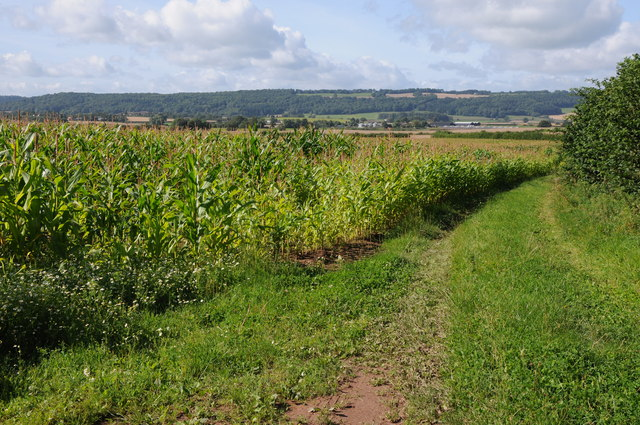 Maize crop at Handley's Cross