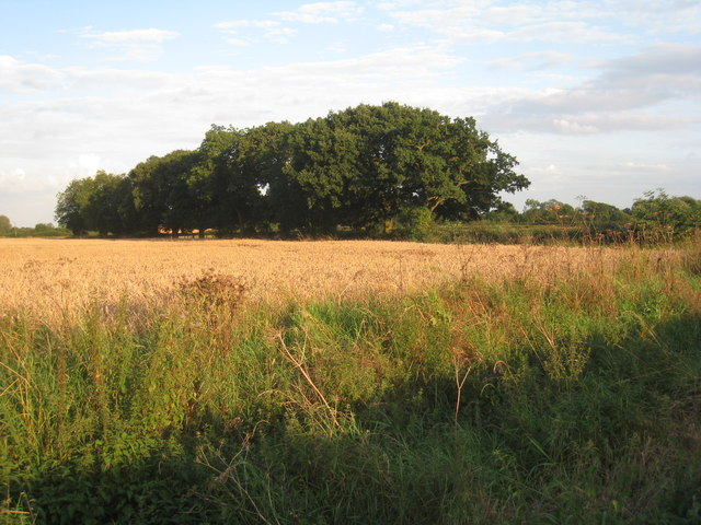 Wheatfield and hedgerow trees