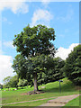 SJ5359 : Beeston castle: oak tree by Stephen Craven