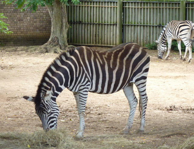 Zebra at ZSL London Zoo