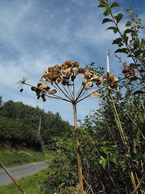 Hogweed seed head