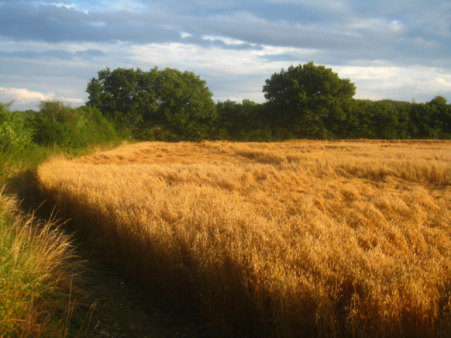 Wheat lodging