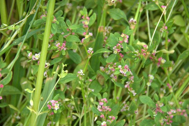 Common Knotgrass (Polygonum aviculare),... (C) Mike Pennington ...
