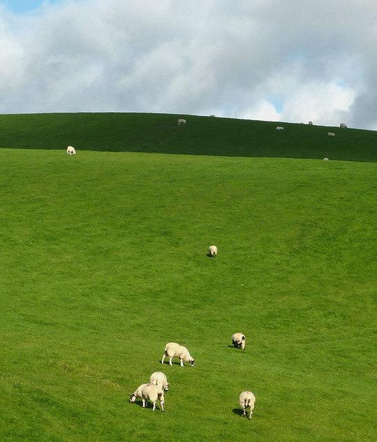 Sheep in the sun, Grayrigg Hall