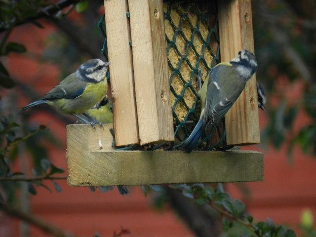 Blue-tits feeding
