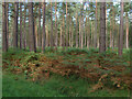 SU8966 : Pine plantation by Alan Hunt