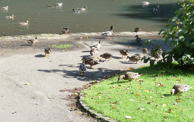 Lancaster - Ducks in Williamson Park