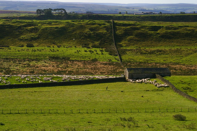 Sheep farmer and dogs at work below Housesteads Fort
