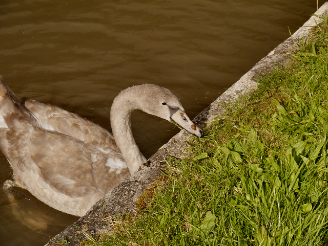 Cygnet, Trent and Mersey Canal