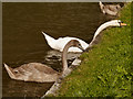 SJ6374 : Feeding Swans by David Dixon