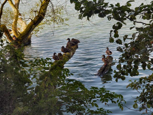Ducks, Budworth Mere
