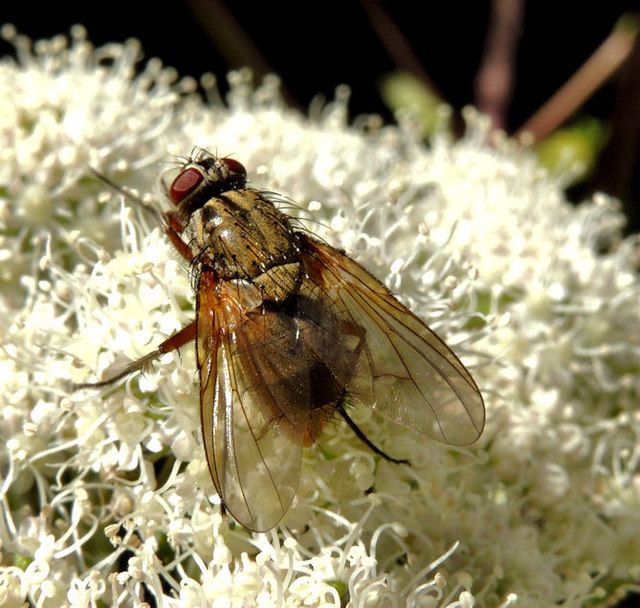 Hoverfly, Coleraine