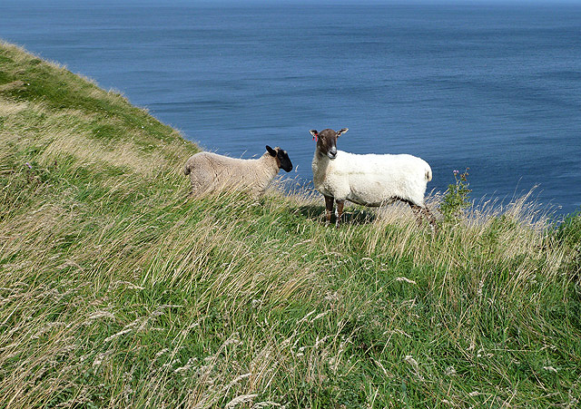 Cliff top sheep