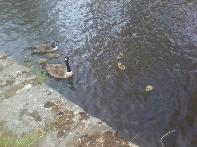 Canadian Geese at Stayley Wharf, Stalybridge
