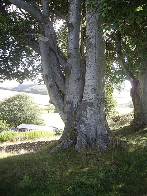 A multi-trunk tree