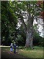 SJ8189 : Ancient Beech in Wythenshaw Park by John Rostron