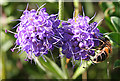 NO4998 : Devil's Bit Scabious (Succisa pratensis) by Anne Burgess