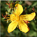 NO4998 : St John's Wort (Hypericum sp) by Anne Burgess