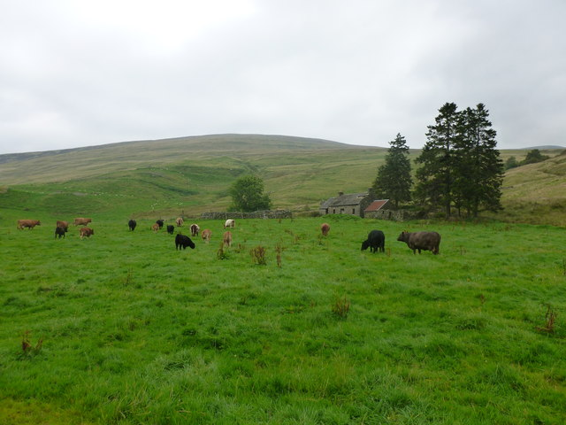 Cattle grazing at Tullichglass