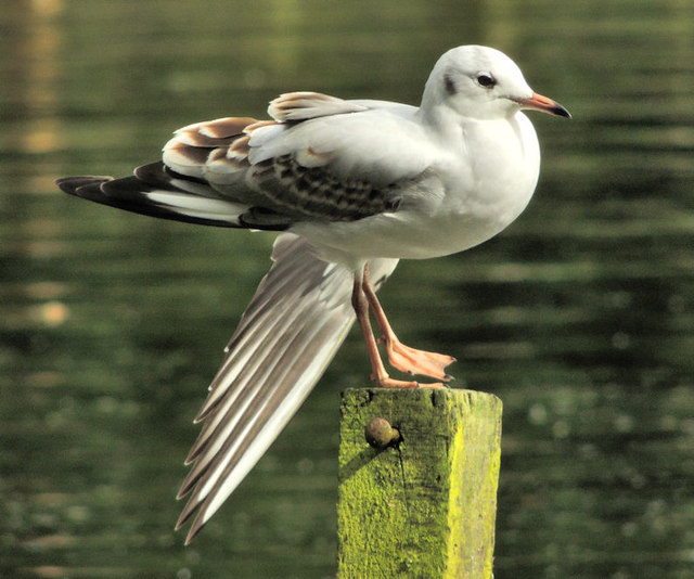 Gull, Hillsborough forest