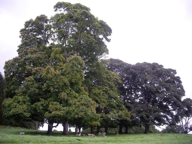 A clump of trees near Drum Castle