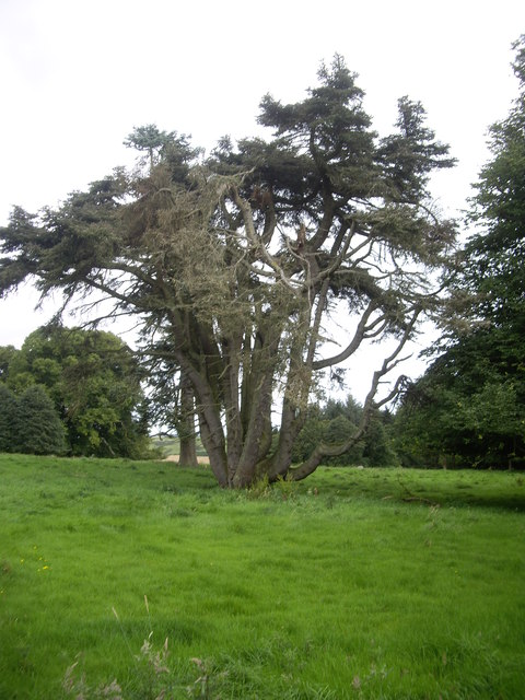 An ancient multi-trunk tree