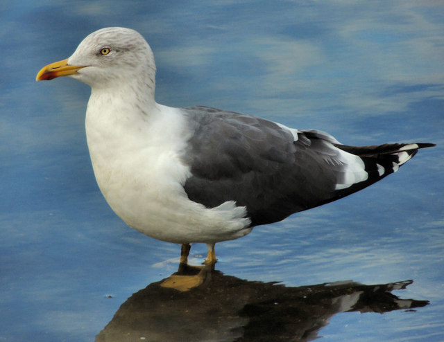 Lesser black-backed gull, Belfast