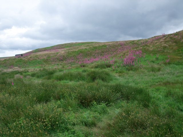 Foxgloves on the slopes of Brown's Law
