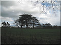 SP2185 : Groups of conifers in former parkland, Little Packington by Robin Stott