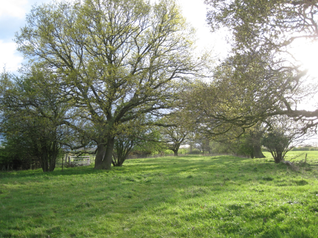 Double line of trees, Hawkeswell Farm