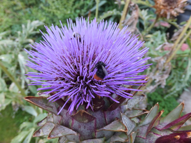 Bees working on a Globe Artichoke