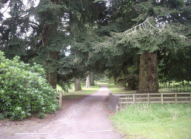 An avenue of Douglas Firs
