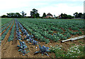TL0158 : Cabbage field near Crossways Farm by JThomas