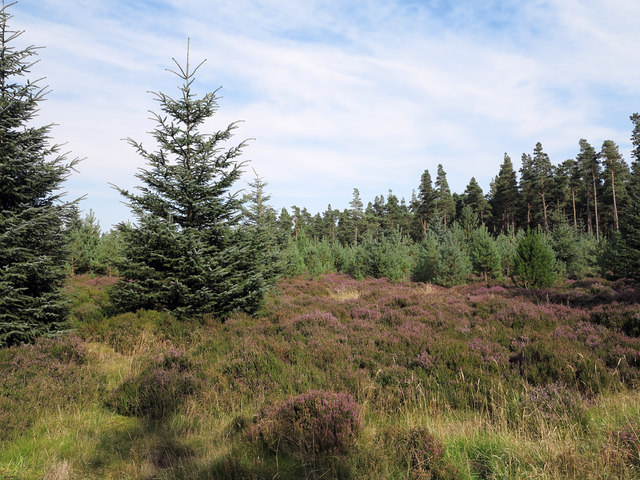 Conifers and heather in Slaley Forest
