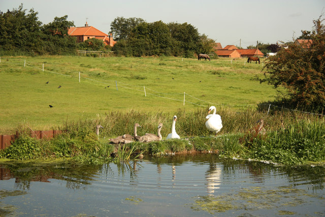 Swans by the Grantham Canal
