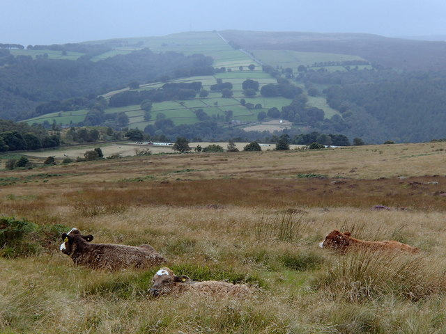 Cattle with a view, White Edge Moor