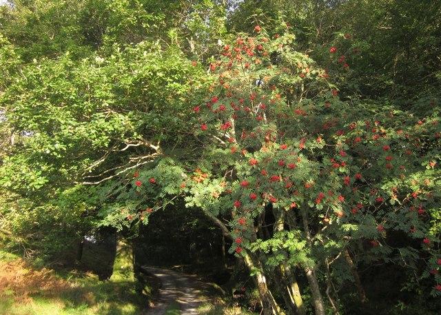 Rowan on Glyndwr's Way