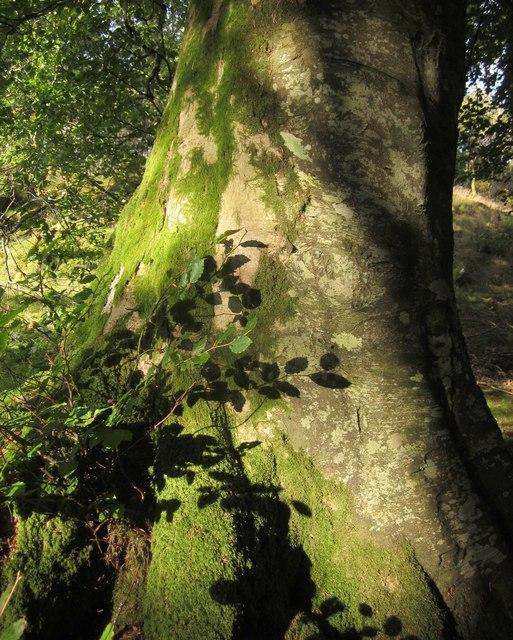 Beech by Glyndwr's Way