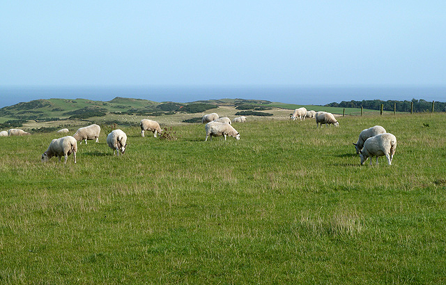 Grazing sheep near Cross Law