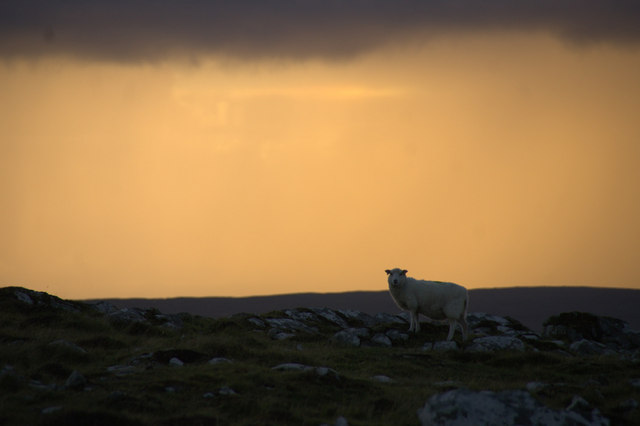 Sheep in the sunset on Gallow Hill