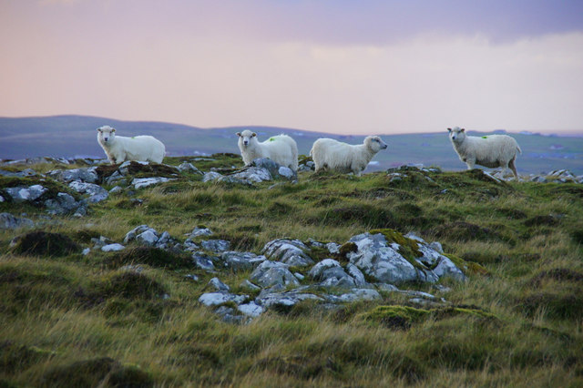 Sheep on Gallow Hill