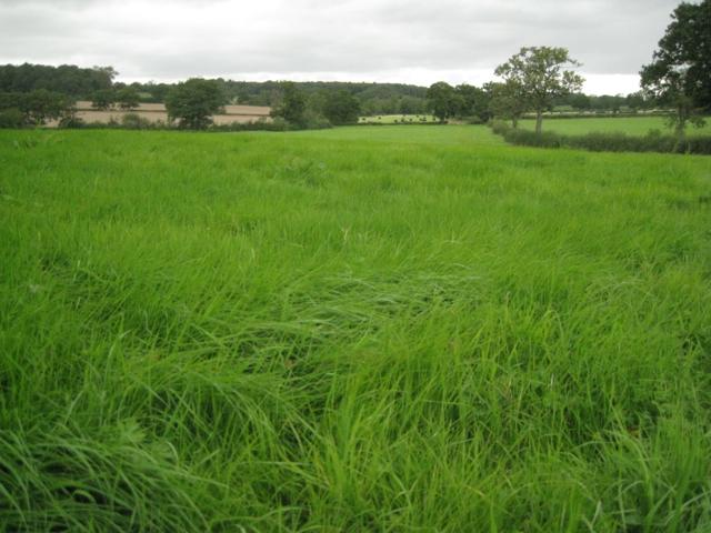 Lush grass due for harvest near Oldberrow Hill Farm