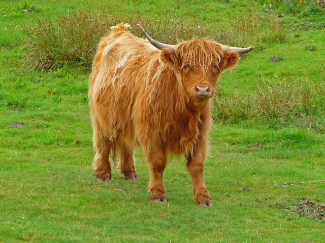 Cow by the A87