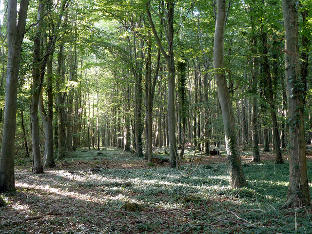Ashling Wood